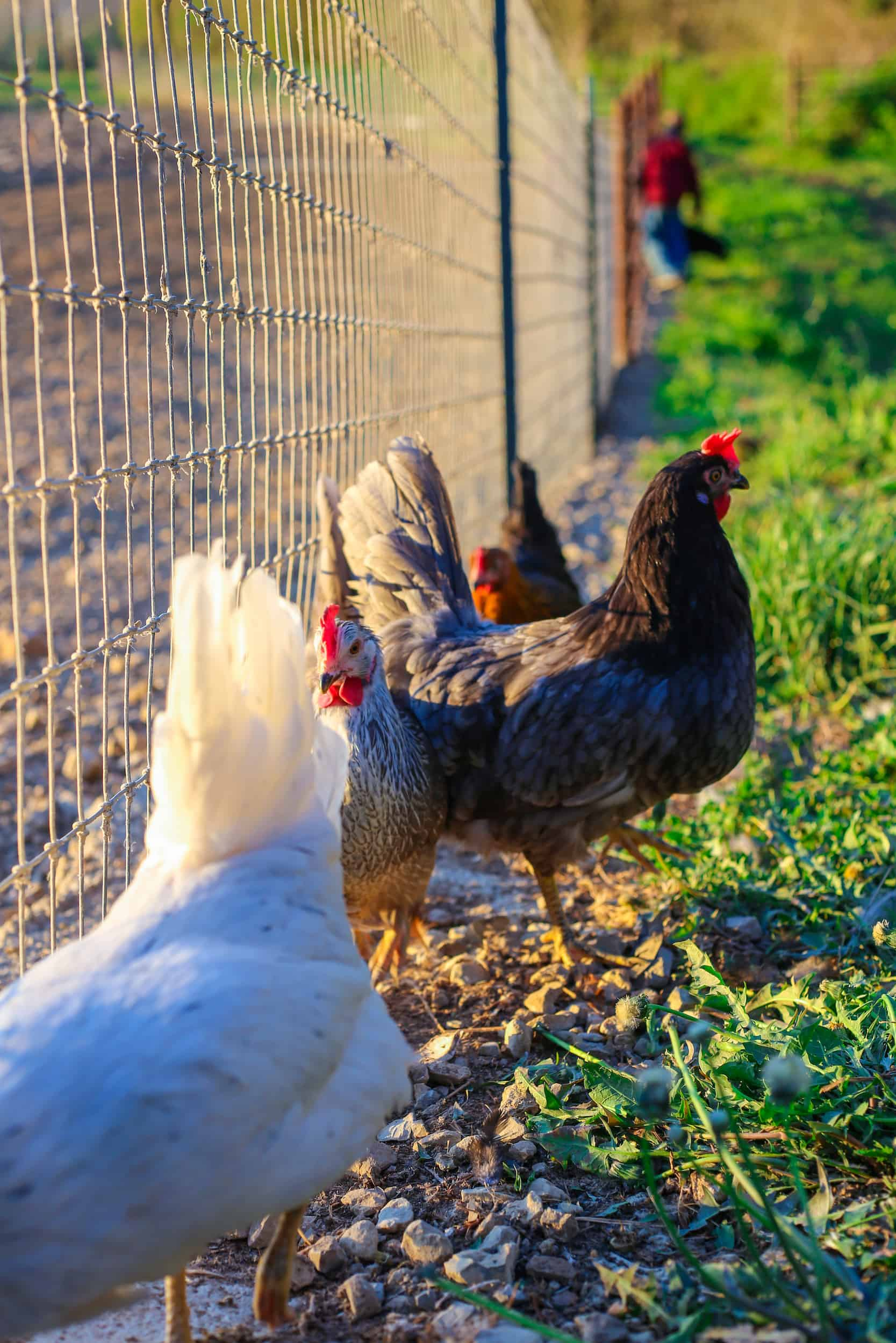 Pasture Raised Hens Standing Near Wire Fencing