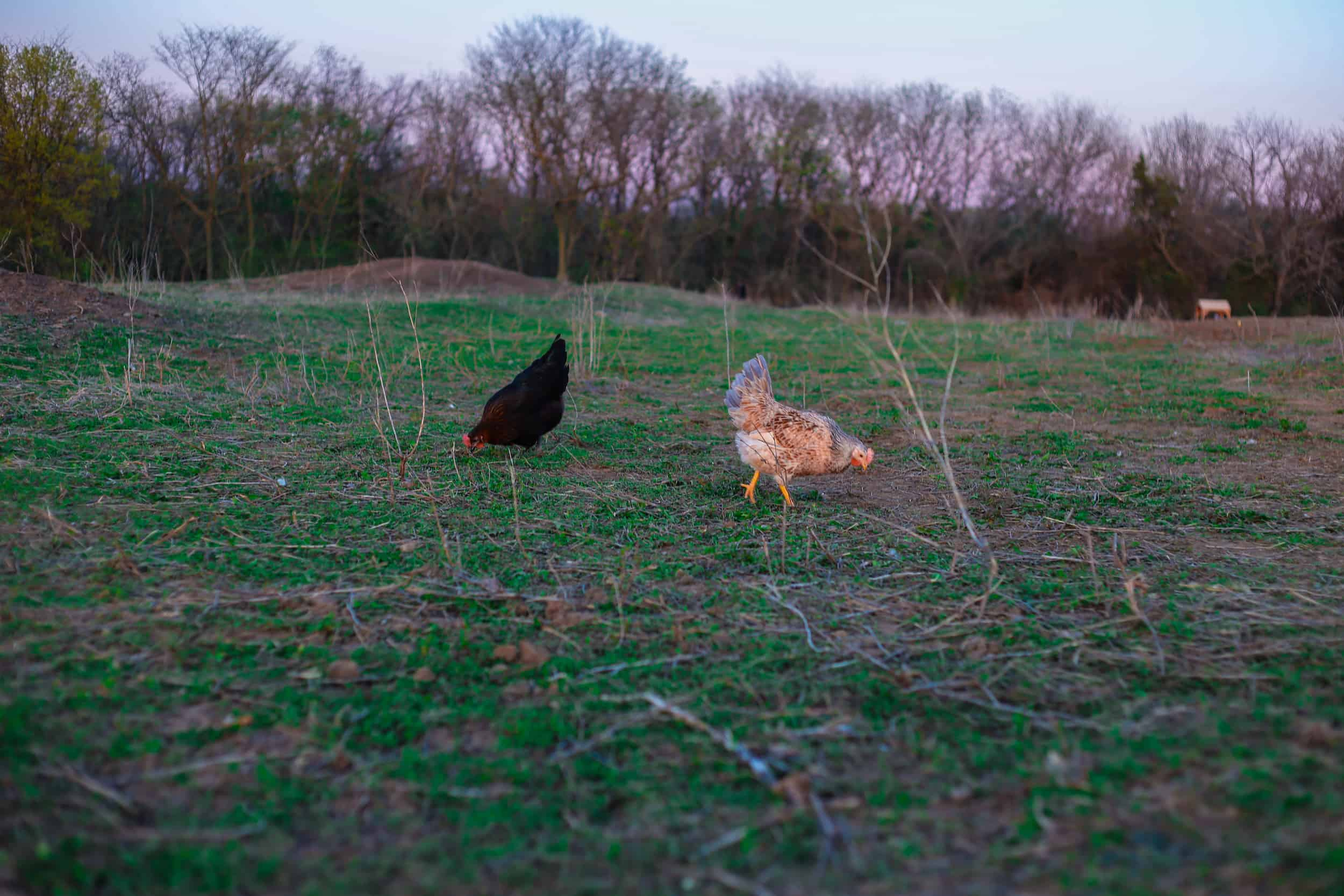 Pasture Raised Hens Foraging in Open Field
